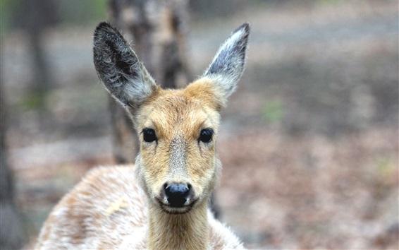 Papéis de Parede Deer vista frontal, olhar