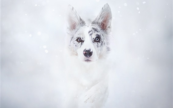 Wallpaper Dog in winter, snow, face, front view