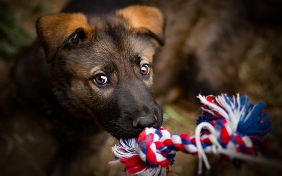 Papéis de Parede Cão, jogo, corda