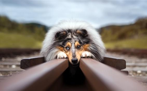 Wallpaper Dog rest at railroad
