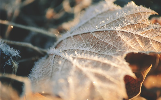 Wallpaper Dry leaf, frost