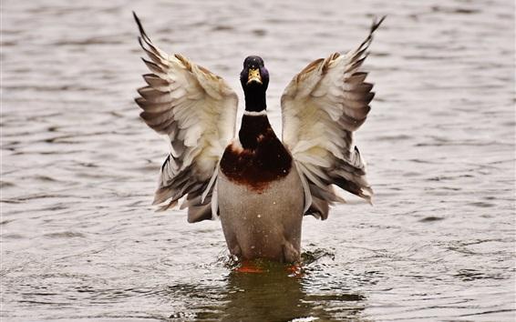 Wallpaper Duck swim in water, wings