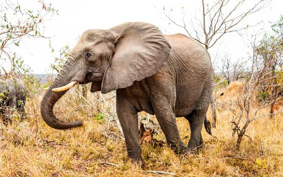 배경 화면 코끼리가 풀밭에서 산책, 가을