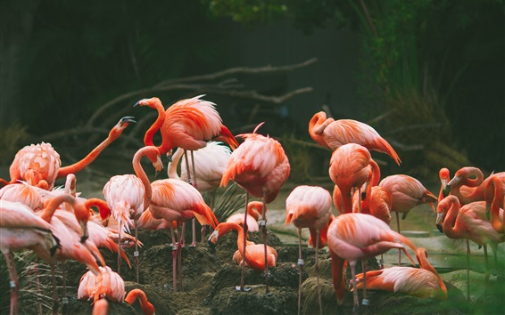 Wallpaper Flamingo photography, birds