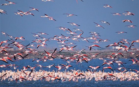 Wallpaper Flamingo world, birds, lake