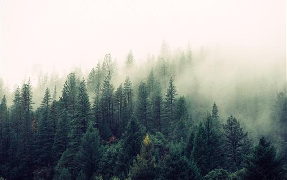 Обои Лесное утро, деревья, туман