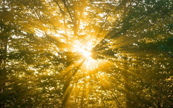 Wallpaper Forest, trees, nature, sun rays