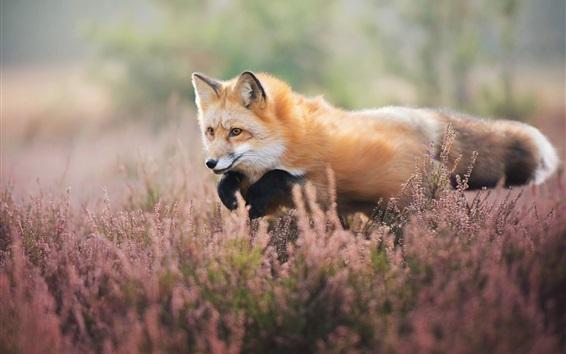 Fond d'écran Fox promenade dans les fleurs sauvages