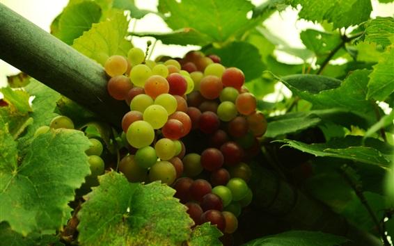 배경 화면 과일, 포도, 나뭇잎, 신선한