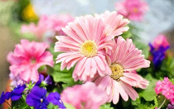 Fondos de pantalla Flores de jardín, rosa margarita, pétalos, primavera