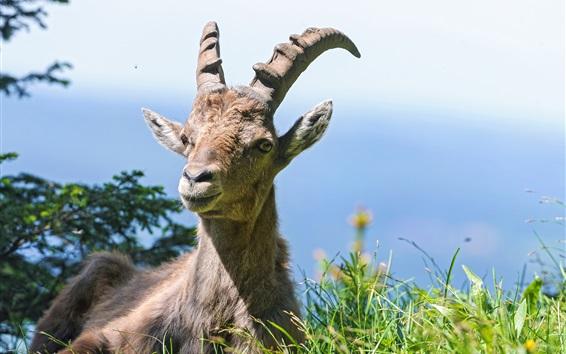 Wallpaper Goat, alpine, grass