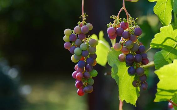 Обои Виноград, красный и зеленый, листья, виноград