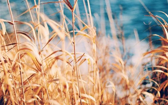 Wallpaper Grass, reed, summer