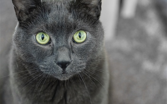 Обои Серый кот, желтые глаза, лицо, вид спереди