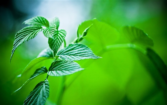 Green leaves close-up, bokeh, plants Wallpaper Preview
