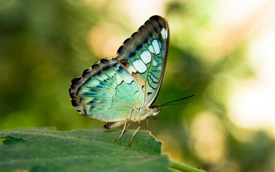 Papéis de Parede Asas verdes ou azuis borboleta, folha, inseto
