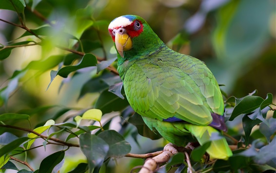 Papéis de Parede O papagaio verde olha para trás