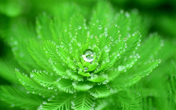 Wallpaper Green plants close-up, like a flower, dew
