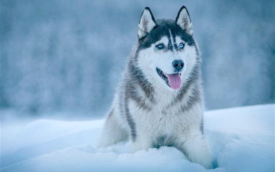 Papéis de Parede Husky cão na neve, inverno
