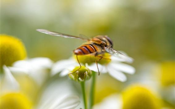 Papéis de Parede Inseto macro fotografia, abelha, flores