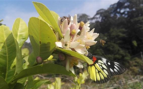 Обои Лимонное дерево, цветы, пчела, бабочка