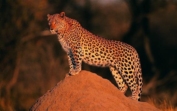 Wallpaper Leopard at sunset