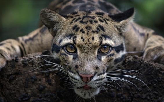 Fond d'écran Léopard, sauvage, chat, devant, vue, figure