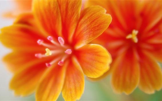 Обои Lewisia цветы макросъемка, оранжевые лепестки