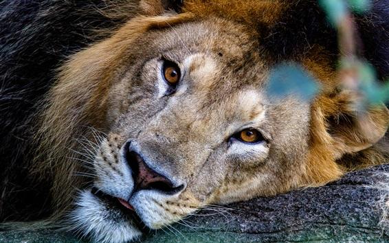 Wallpaper Lion face, look, rest, predator
