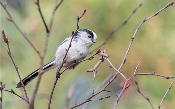 Fondos de pantalla Largo, cola, pájaro, ramitas, árbol