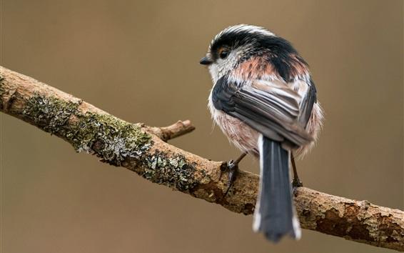 Papéis de Parede Long-tailed, tit, árvore, ramo