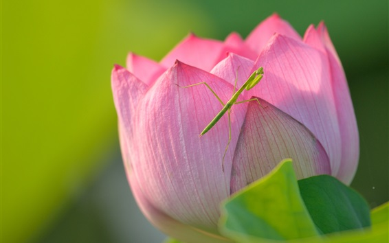 Wallpaper Lotus and mantis, pink flower, insect