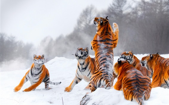 Wallpaper Many tigers, playful, snow, winter