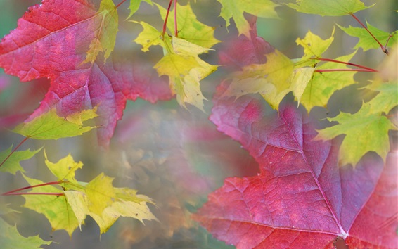 Wallpaper Maple leaves, red and yellow colors, fog, haze, autumn