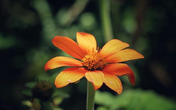 Обои Оранжевые лепестки цветов, размытый фон
