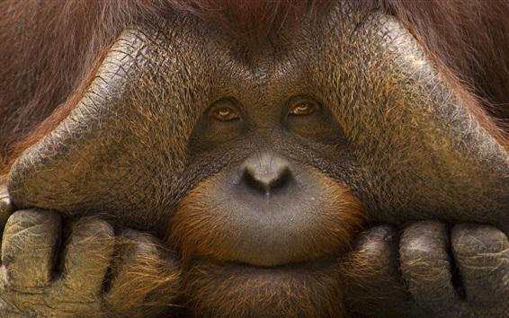 Wallpaper Orangutan face close-up, monkey