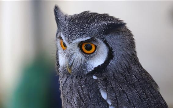 Wallpaper Owl close-up, predator