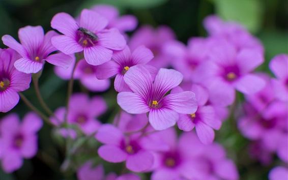 Wallpaper Oxalis purple flowers close-up