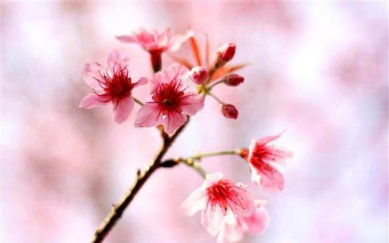 배경 화면 핑크색 벚꽃이 봄에 핀다.