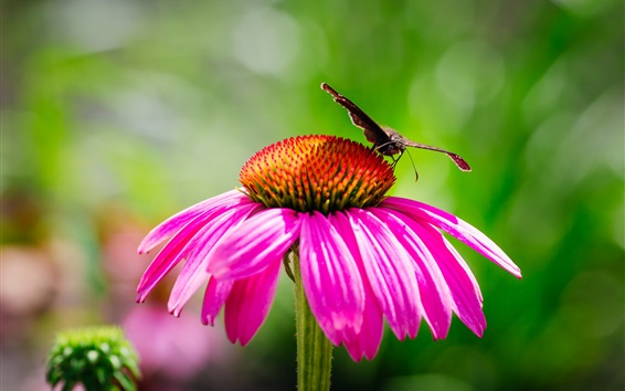 Wallpaper Pink echinacea and moth