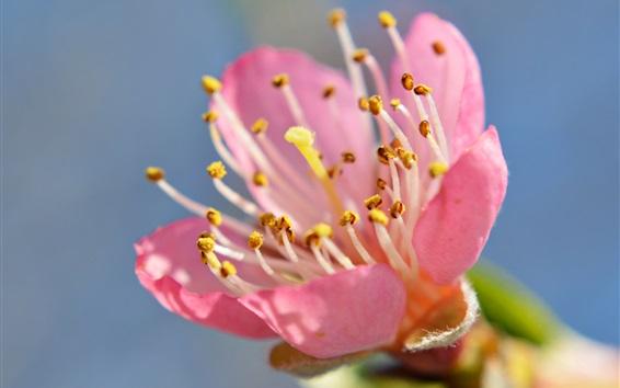 Wallpaper Pink flower close-up, petals, stamens, sky