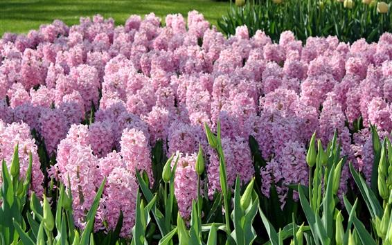 Обои Розовые цветы, гиацинты, сад, Нидерланды