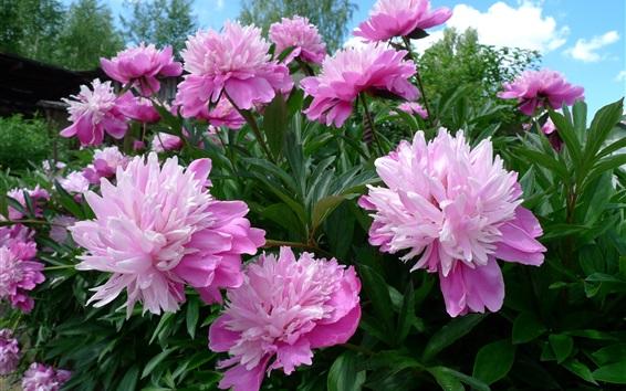 Papéis de Parede Flores cor-de-rosa, peony