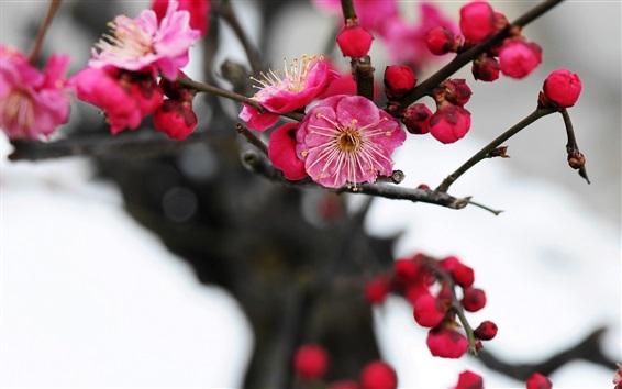 Wallpaper Pink plum flowers blossom