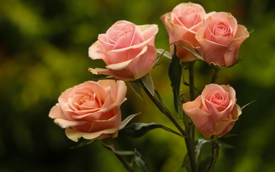 Wallpaper Pink roses, green background