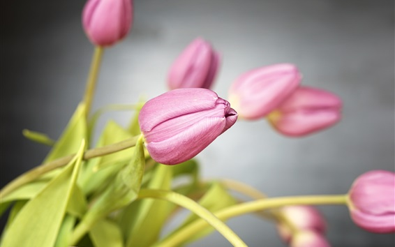 Wallpaper Pink tulips, flowers, stem