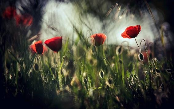 Fond d'écran Champ de coquelicots, fleurs rouges, obscurité