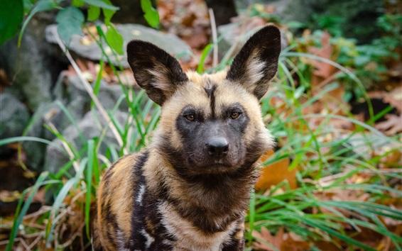 배경 화면 프레데터, 아프리카 야생 개