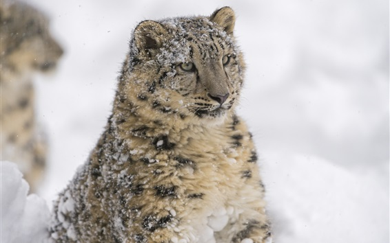 Wallpaper Predator, snow leopard, face, winter
