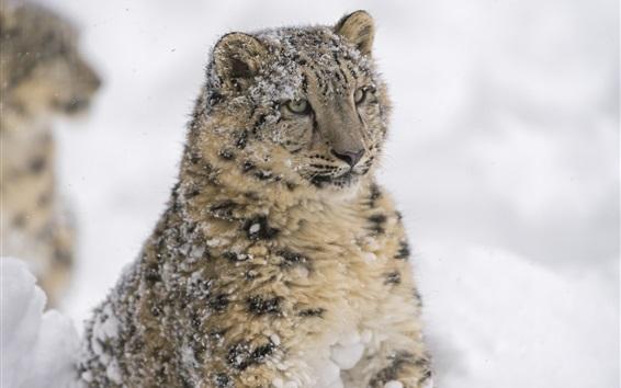 Papéis de Parede Predador, neve, leopardo, rosto, inverno
